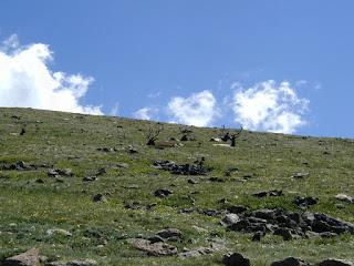 Elk laying on hillside