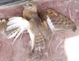 owl bird flies locked church night vigil