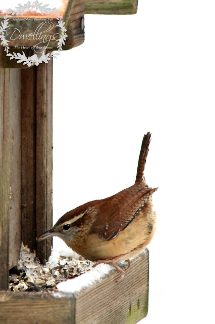 Carolina Wren feeding on a snowy day.