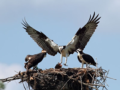 osprey bringing fish to young in nest