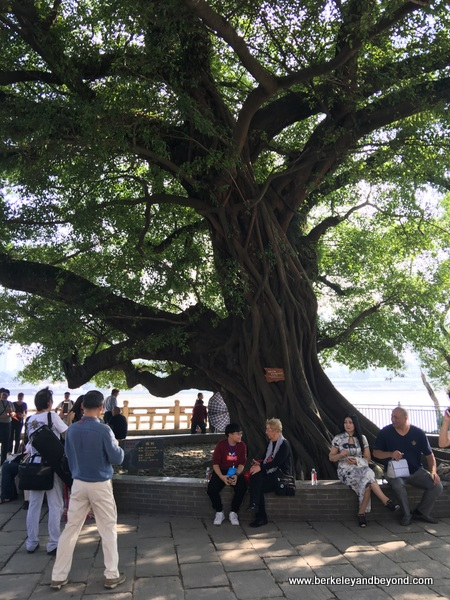 ancient tree on Jiangxin Islet in Wenzhou, China