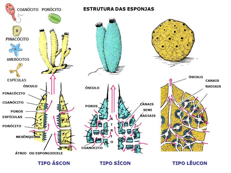 Ciências Biológicas: Filo Porífera