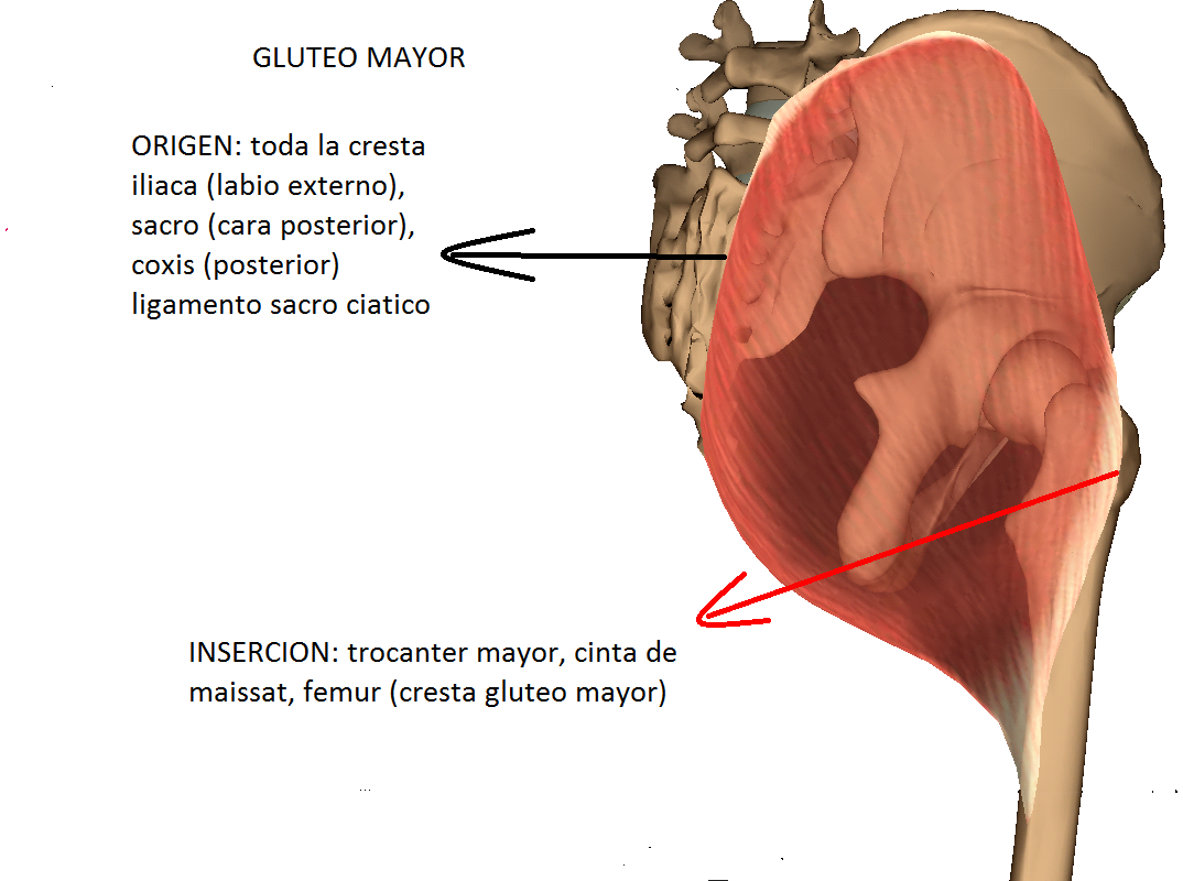 Anatomy full : MUSCULO GLUTEO MAYOR