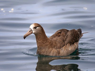 Oregon Pelagic Tours: Black-footed Albatross. Greg Gillson