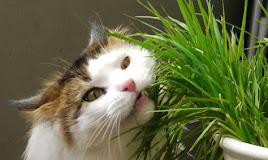 Kenapa Kucing Makan Rumput? Bahayakah?