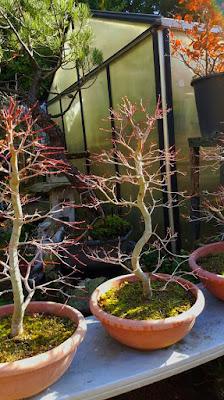 ¿Realmente comenzó ayer la primavera para nuestros bonsais?