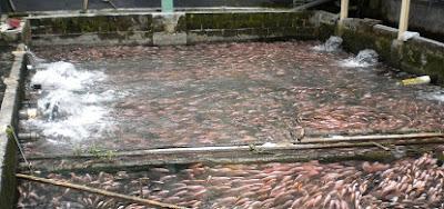 Cara Budidaya Ikan Nila di Kolam Beton yang Menguntungkan ...