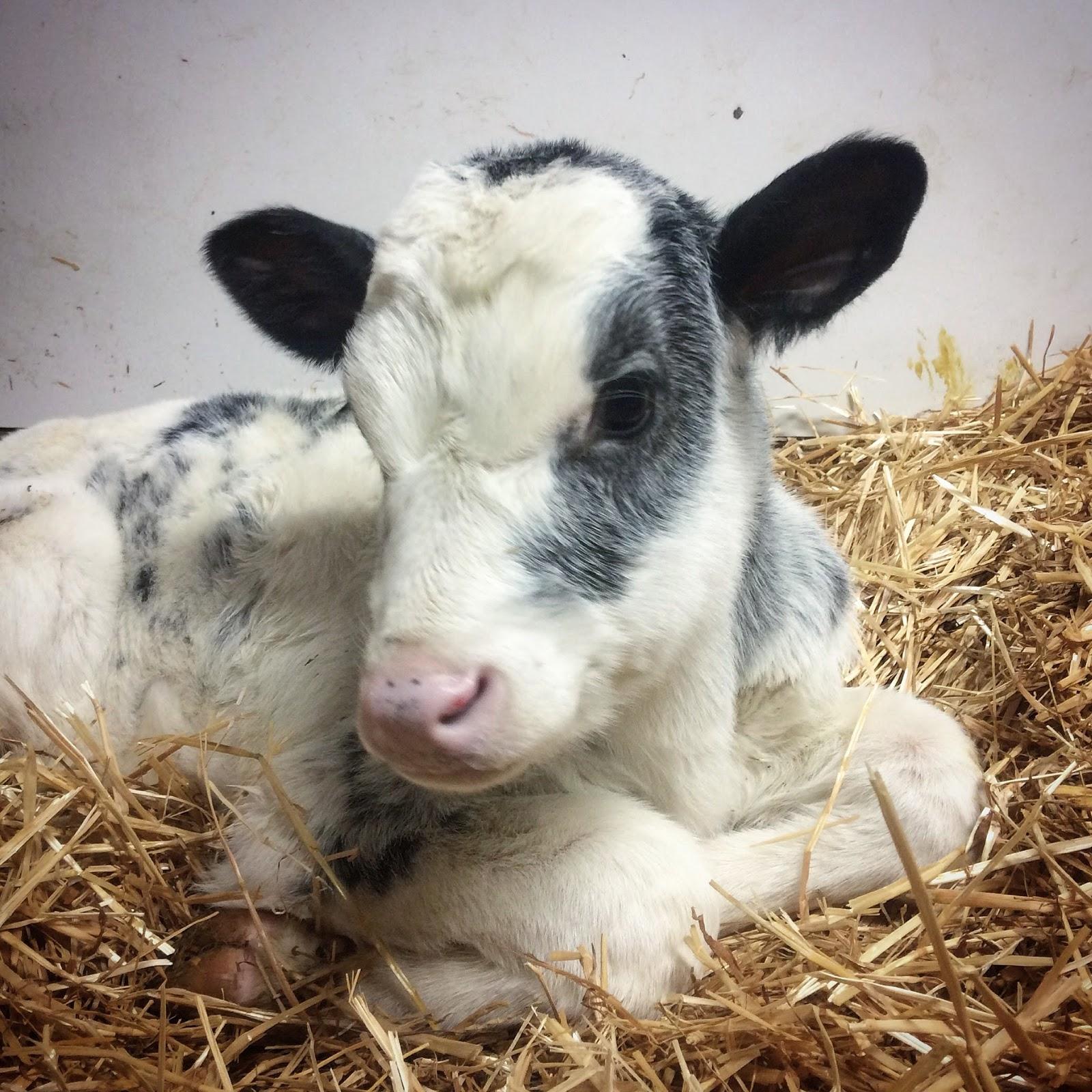 blue roan Holstein x Milking Shorthorn dairy calf