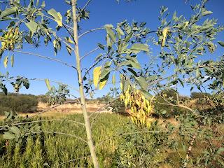 Nicotiana glauca, Palo grande, tree tobacco