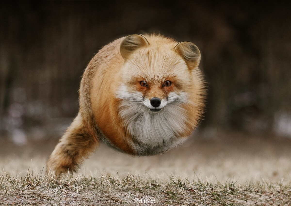 05-Red-Fox-Aditya-Aryanto-Surreal-Animals-Ball-Photo-Manipulations-www-designstack-co
