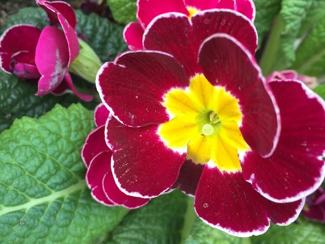 Primel dunkel lila