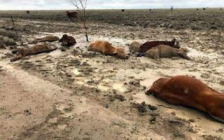 Inundaciones historicas en australia esta acabando con los animales.