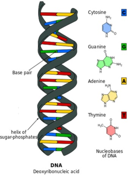 Biology : DNA: Types, Structure and Function Of DNA
