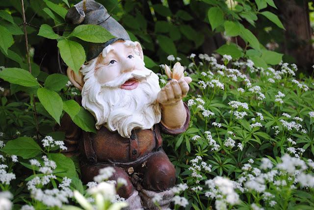 Garden Gnome In The Sweet Woodruff Allmyfriendsphotography