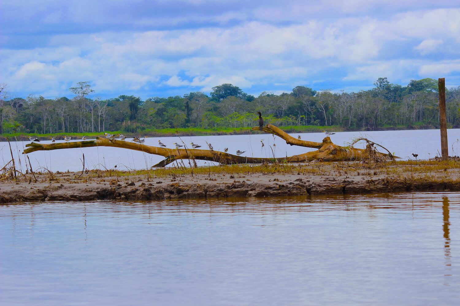 birds on log in amazon river