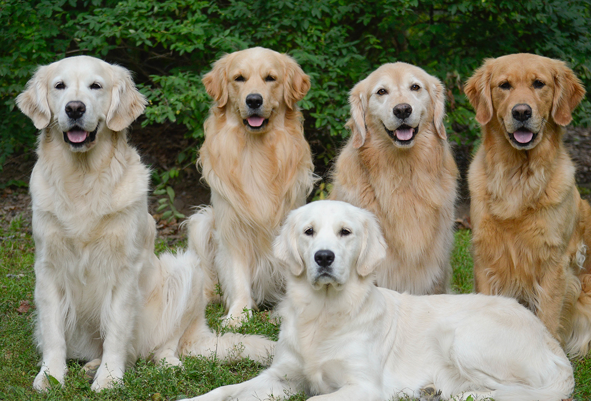 Golden retriever breed profile australian dog lover the double coat is wavy and water resistant which is ideal for those not uncommon plunges into any body of water the dog may encounter nvjuhfo Choice Image