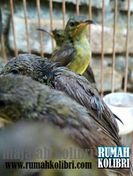 Cara Ngombyok Burung Kolibri Yang Bagus Dan Prospek Rumah Kolibri
