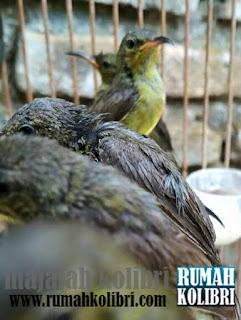 kolibri ninja www.rumahkolibri.com