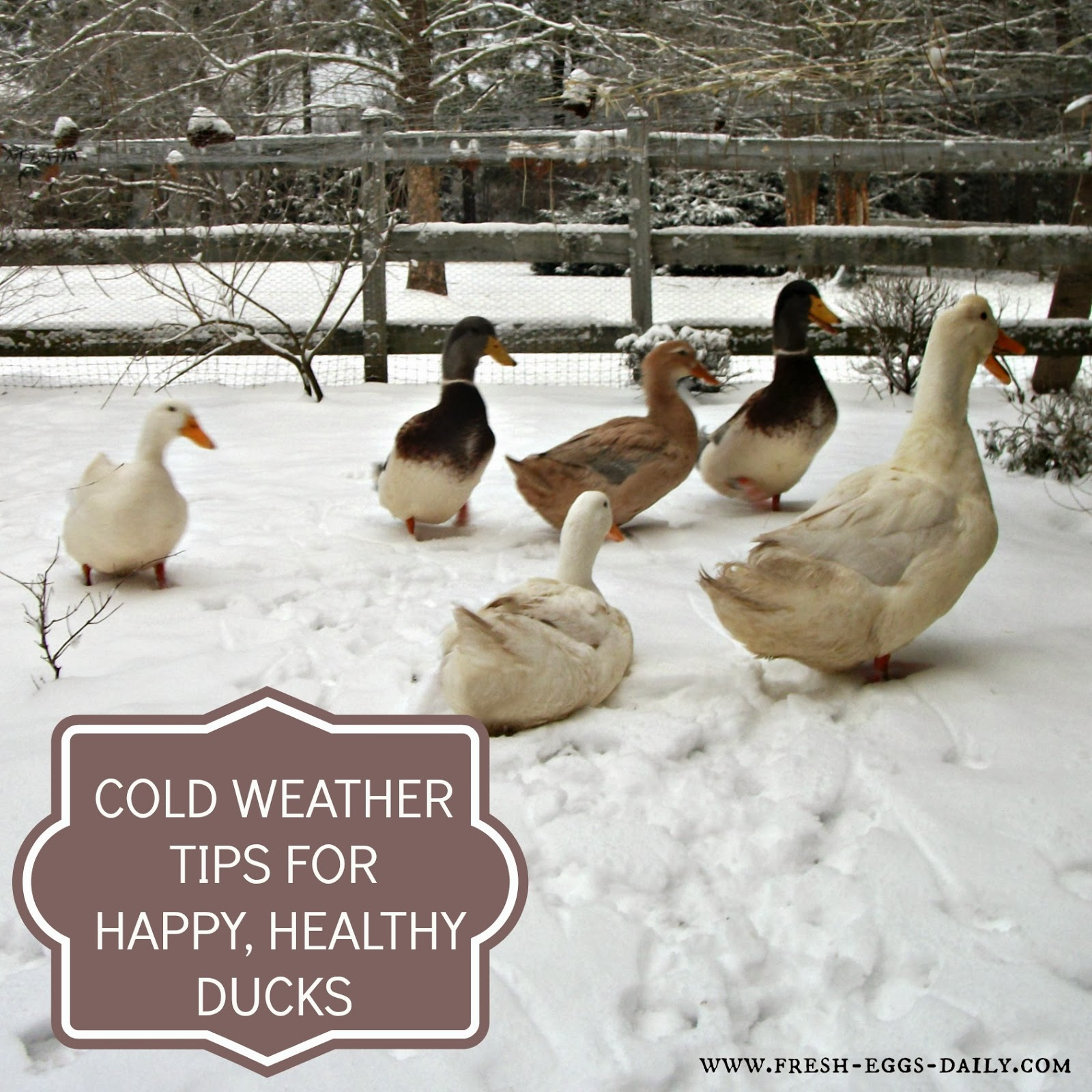 Cold Weather Tips For Winter Duck Care Fresh Eggs Daily