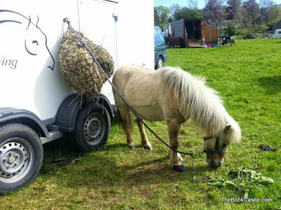 White Shetland Pony resting eating hay