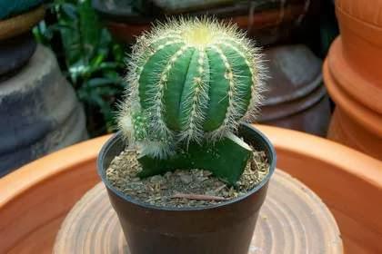 kaktus penyerap polusi