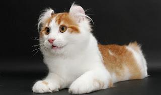 gambar kucing America curl