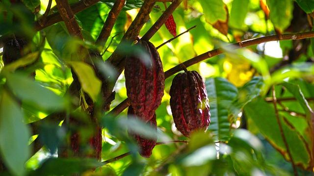 Membuat Silase dari Kulit Kakao