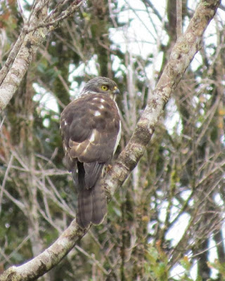Black mantled Goshawk
