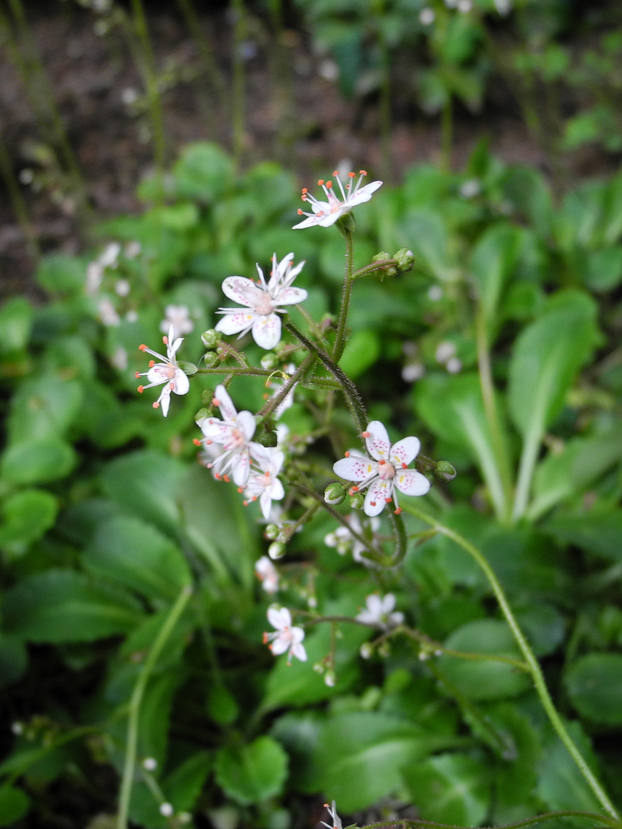 Wanderin weeta with waterfowl and weeds armed with pink fuzz tiny 12 cm at their widest point five petalled flowers mightylinksfo