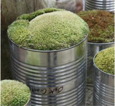 Gunakan kaleng bekas seadanya untuk pot tanaman lumut.