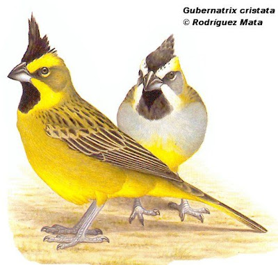 Yellow Cardenal