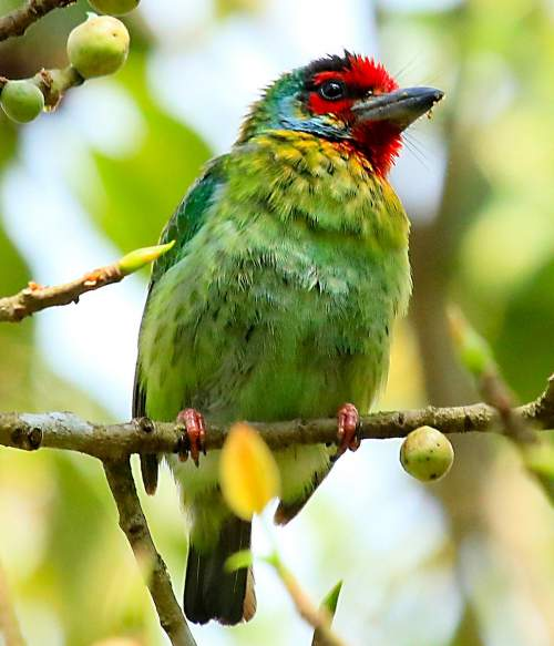 Indian birds - Image of Malabar barbet