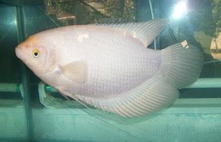 Talitakum Indonesia Dari 7 Jenis Jenis Ikan Gurame Ini Gurame Mana Yang Ingin Kamu Budidayakan