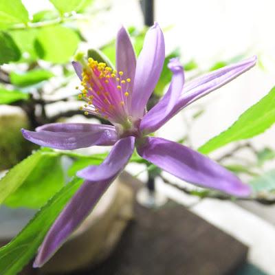 スイレンボクの花