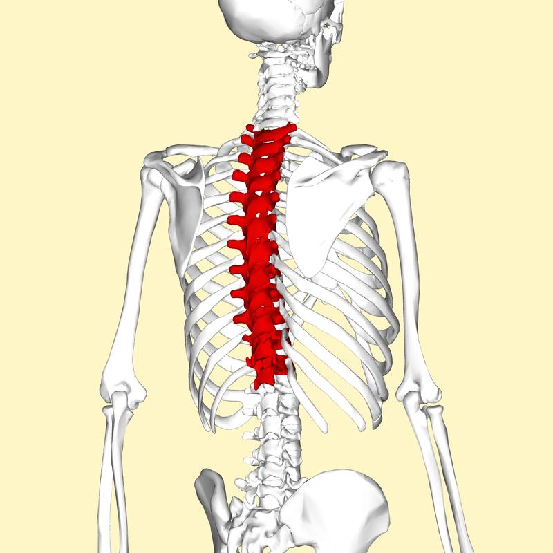 Anatomía y Fisiología: Columna Vertebral Región Torácica o Lumbar