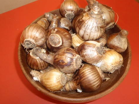 bulbos de narciso preparados para ser plantados