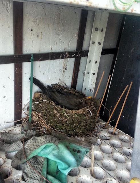 Blackbird in nest kosovka v gnezdu na setvenem platoju