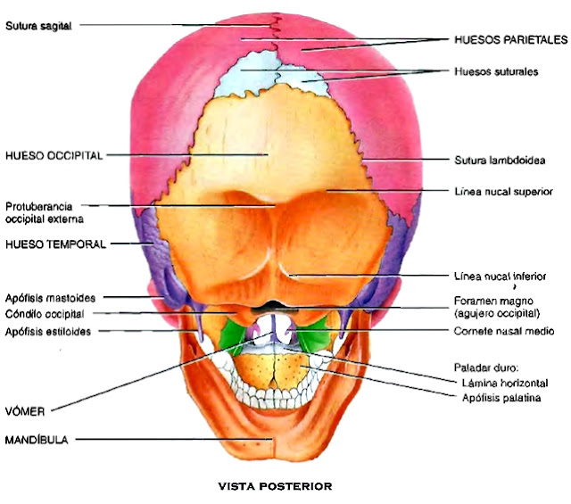 Cráneo huesos vista posterior