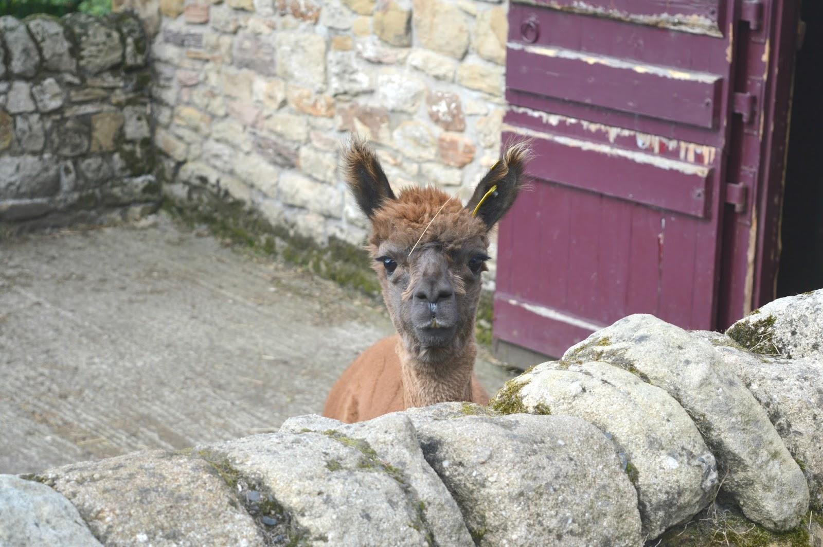 National Trust Cherryburn - Alpaca