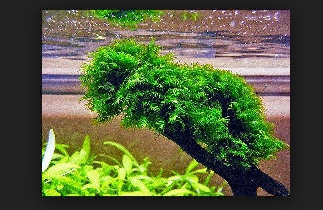 jenis Tanaman Aquascape mudah tumbuh