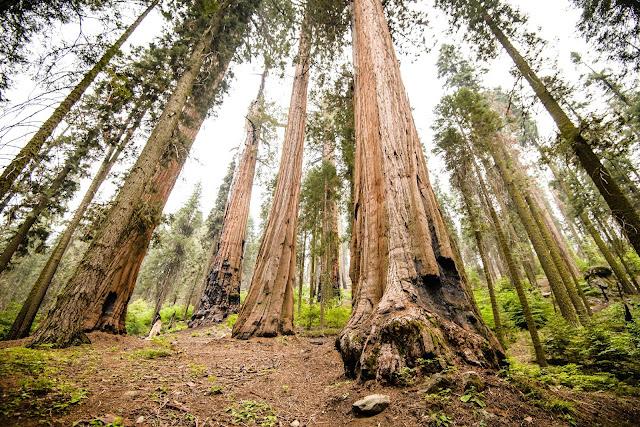 Large Sequoia Trees