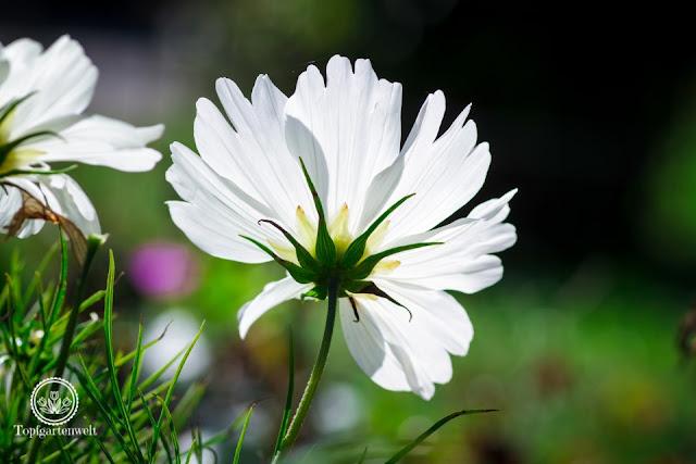 Cosmea im Gegenlicht - Gartenblog Topfgartenwelt