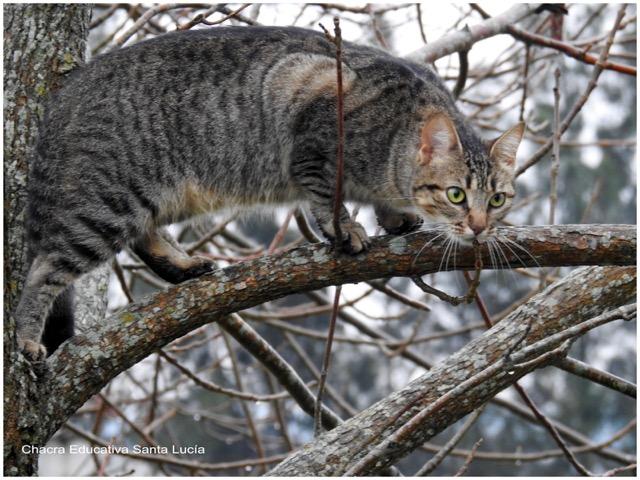 Gato doméstico en actitud de caza - Chacra Educativa Santa Lucía
