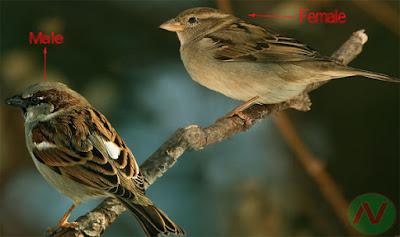 sparrow, sparrow bird, চড়াইপাখি; চড়াই; চড়ুই