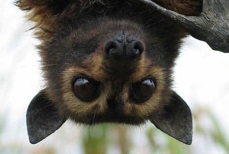The Flying Fox Bat Facts About All