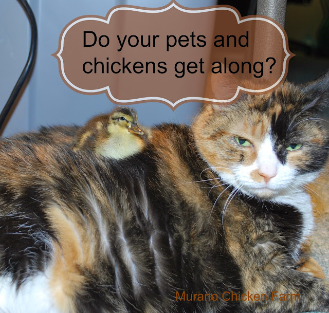 chickens get along with pets?