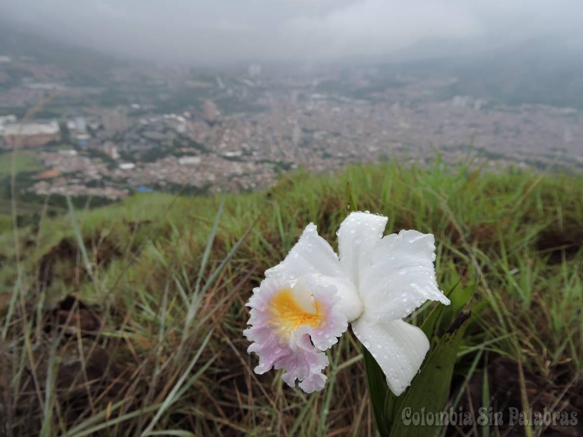 flor orquídea del cerro