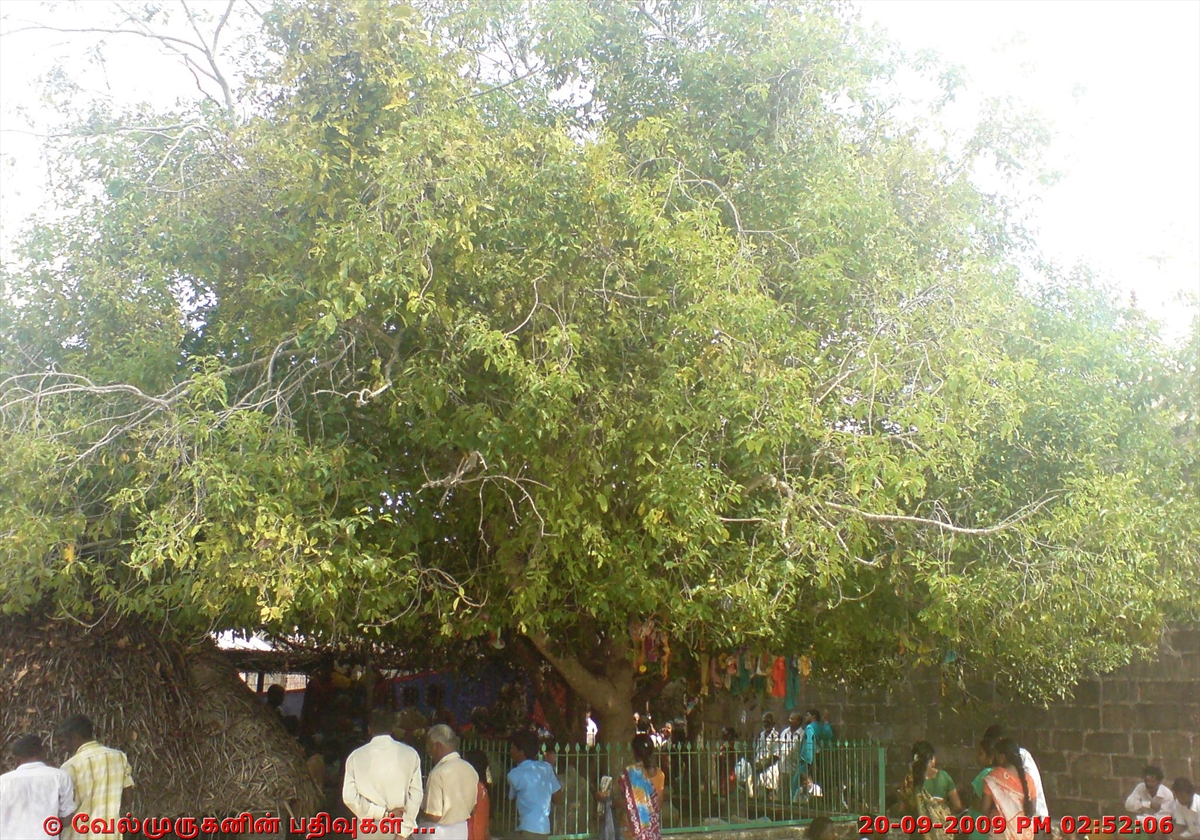 Kura Tree in Murugan Temple