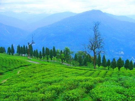 assam tea garden wallpaper, tea garden images