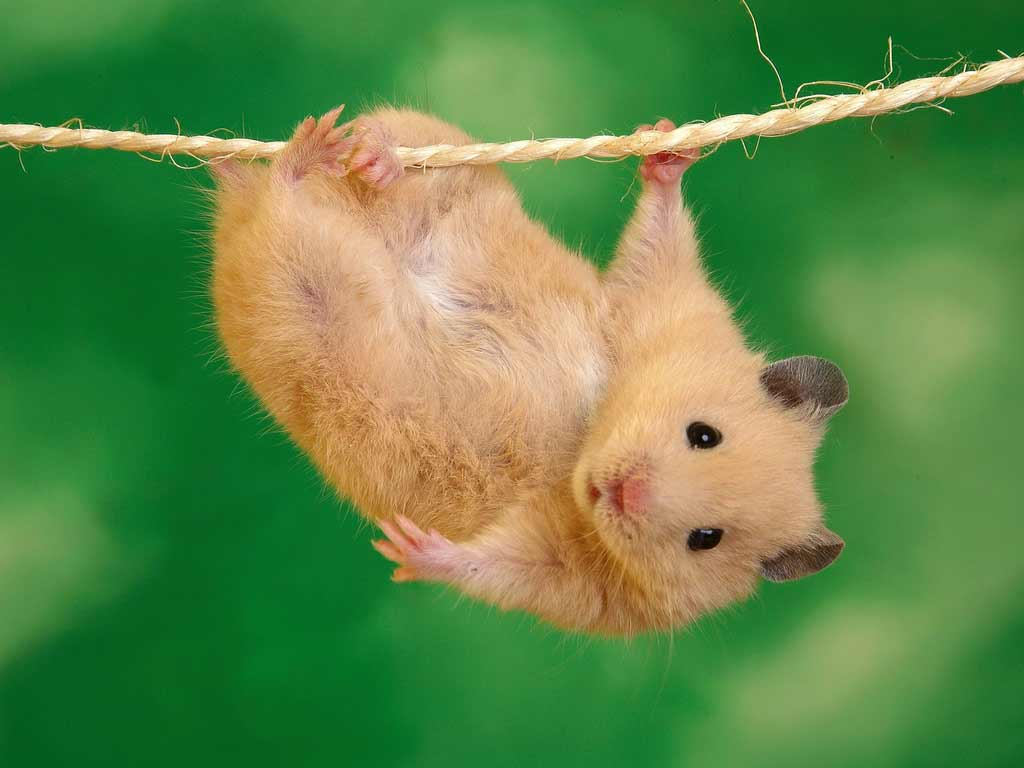 Latest Funny Pictures Funny Hamster Wallpapers